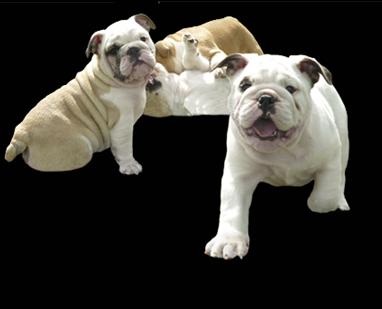De Royer Pups